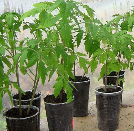 прививаем помидоры, прививка растений