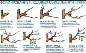 Правильно обрезать фруктовые деревья